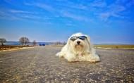 活泼的哈瓦那小犬图片(15张)