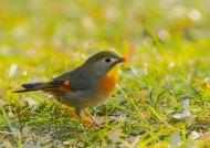 红嘴相思鸟图片(13张)