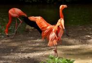 羽毛光鲜的火烈鸟图片(15张)