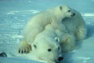 可爱的北极熊图片(15张)