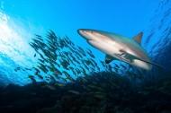 海中鲨鱼图片(10张)