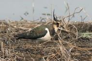 凤头麦鸡鸟类图片(7张)