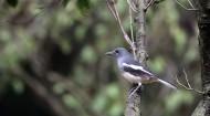 鹊鸲鸟类图片(11张)