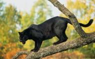 黑豹图片(12张)
