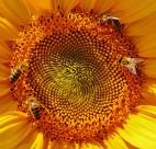 向日葵上的蜜蜂图片(10张)