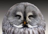 野生雕鸮图片(18张)