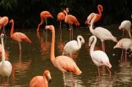 长脖子红鹳鸟图片(12张)