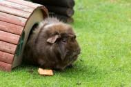 荷兰猪图片(10张)