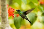 玲珑小巧的蜂鸟图片(11张)