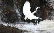 白鹭图片(6张)