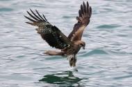 码头上空的鹰图片(11张)