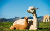 羊驼草泥马图片(8张)
