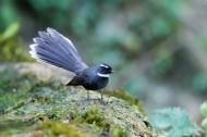 可爱的白喉扇尾鹟鸟类图片(6张)