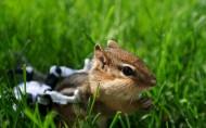 花栗鼠图片(24张)