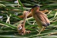 黄苇鳽喂食图片(12张)