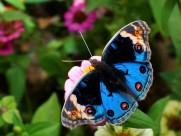 美丽的蝴蝶图片(16张)
