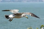 黑尾鸥图片(5张)