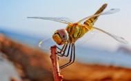 唯美的蜻蜓图片(13张)