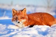 野外狐狸图片(19张)