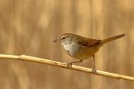 通体棕色的远东树莺图片(15张)