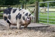 家猪图片(13张)