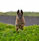 奔跑跳跃的狗狗图片(11张)