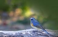 红胁蓝尾鸲鸟类图片(6张)
