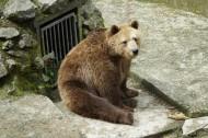 体型庞大的棕熊图片(15张)