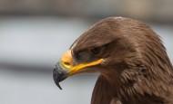 凶猛的老鹰头部特写图片(8张)