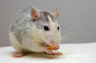 可爱的小老鼠图片(15张)