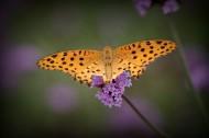 蝴蝶图片 (10张)