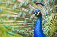 孔雀和孔雀羽毛图片(10张)