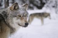 狼图片(5张)