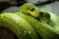 袖珍的绿树蟒图片(15张)