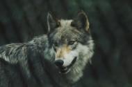凶残的狼图片(14张)