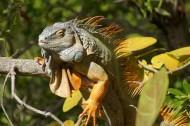 野生蜥蜴高清特写图片(13张)