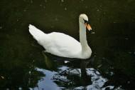 白天鹅图片(6张)