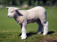 温顺的小羊图片(31张)