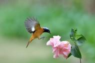 追逐花朵的北红尾鸲雄鸟图片(12张)