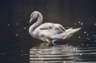 美丽的白天鹅图片(15张)