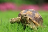陆龟苏卡达图片(11张)