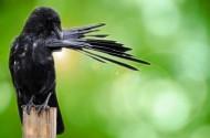 黑色的乌鸦图片(12张)