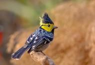 黄颊山雀图片(6张)