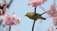 樱花树上的绣眼鸟图片(11张)