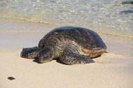 憨态可掬的海龟动物图片(14张)