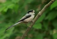 银喉长尾山雀鸟类图片(10张)
