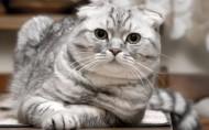 苏格兰折耳猫图片(15张)