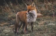 野外的狐狸图片(13张)