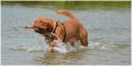 正在水中玩耍的波尔多犬图片(18张)