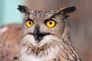 呆萌可爱的猫头鹰图片(10张)